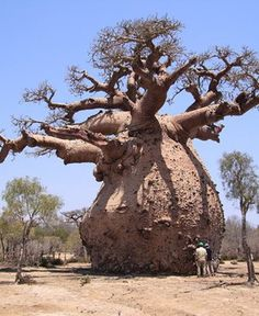 Baobab trees can store over gallons of water in their trunks. The Garden of Eaden, Africa, and India Weird Trees, Magical Tree, Baobab Tree, Unique Trees, Old Trees, Garden Types, Big Tree, Nature Tree, Tree Forest