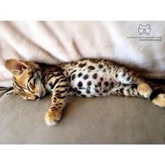 Wonderful Photographs Bengal Cats kitten Suggestions Initially, let's discuss just what is actually a Bengal cat. Bengal cats and kittens really are a pedigree rep. Pretty Cats, Beautiful Cats, Animals Beautiful, Beautiful Images, I Love Cats, Crazy Cats, Cool Cats, Cute Baby Animals, Funny Animals
