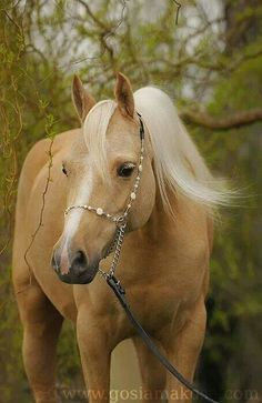 Beautiful horse. <3 Palomino. Luna is er uit, deze wordt het (in her dreams)