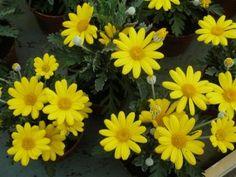 Google Image Result for http://gardenerstips.co.uk/blog/wp-content/uploads/2009/05/euryops.jpg