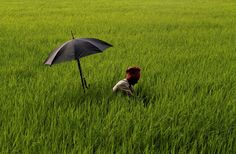 Bhubaneswar, India An elderly farmer has his umbrella mounted on his walking stick to protect himself from the scorching sun as he works on removing weeds at a paddy field on the outskirts of Bhubaneswar, Orissa state,