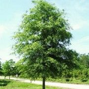 Quercus phellos (Willow oak) Click image to learn more, add to your lists and get care advice reminders each month.
