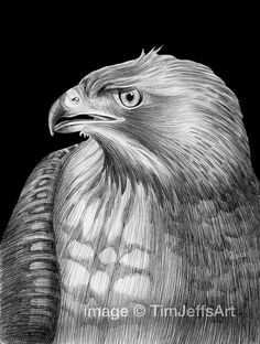Red-tailed Hawk Ink Drawing. Signed by Artist by TimJeffsArt