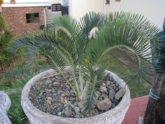 Encephalartos Lanatus: South African cycad that is blue and unique. it is valued at R95 a cm