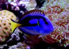 Image result for blue tang