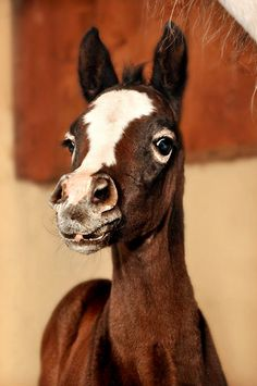 """This foal is going to be a Grey because he has """"goggles"""" - Grey hairs that grow around the eyes of most foals with a dominat Grey gene."""