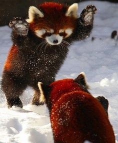 Just Some Red Pandas Playing In The Snow