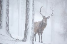 Red deer stag in pine forest in winter, Alvie, Kincraig, Scotland.    © Peter Cairns/2020VISION