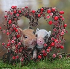 Cute Piglets #piglets, #funny, #animals, https://facebook.com/apps/application.php?id=106186096099420