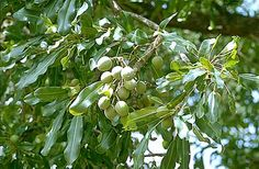 ever seen how shea grows on the trees...?