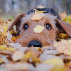 14 Versatile Facts About the Airedale Terrier Irish Terrier, Airedale Terrier, Terrier Puppies, Terriers, White Terrier, Terrier Mix, Smelly Dog, Cute Baby Puppies, Dog Lady