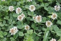 White clover flowers ( bearded dragons favourite food)