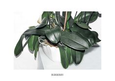 Polly Brown - Plants burberry