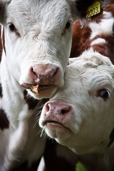 curious cows...love them!!!!  So pretty and sweet!