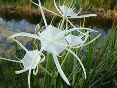 Pretty petals o... Asclepias Cancellata