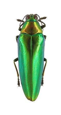 Chrysochroa ignita. Collection of the Royal Belgian Institute of Natural Sciences