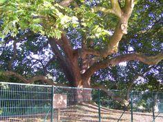 Platane dit Arbre de Diane à Clayes-sous-Bois - région Ile de France -  plus de 400ans - classé  arbre remarquable de France