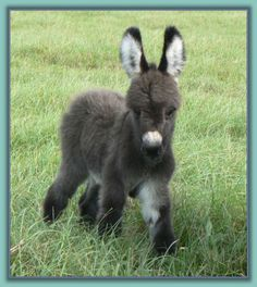 Lil Angels Marquise miniature donkey