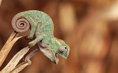 Baby Animals Chameleon Animal Wallpapers Resolution : Filesize : kB, Added on February Tagged : baby animals Tier Wallpaper, Animal Wallpaper, Green Wallpaper, Baby Animals Pictures, Cute Baby Animals, Chameleon Pet, Beautiful Bugs, Reptiles And Amphibians, Nature Animals