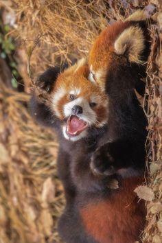 Super Cute Animals, Cute Little Animals, Cute Funny Animals, Cute Dogs, My Spirit Animal, My Animal, Red Panda Cute, Panda Puppy, Otters Cute