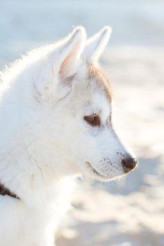 Husky Puppy by Sheila Bobeldijk