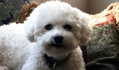 These important reminders should serve you well as awesome bichon owners...