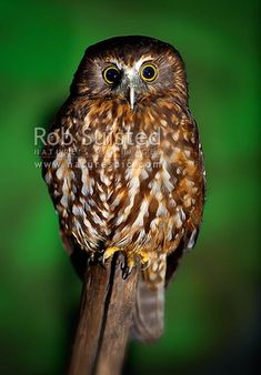 Morepork, NZ native bird, Ruru (Ninox novaeseelandiae), New Zealand (NZ).