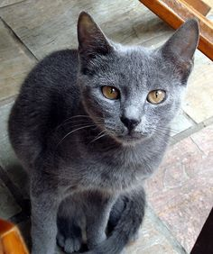 Russian Blue, true pure Russian Blue's always have green eyes. Gold eyes are a fault. Kittens can have gold eyes but they should turn green by their 4th month of age.