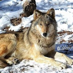 From KHQ.com: NEWPORT, Wash. - A man from Liberty Lake was fined $8,293 in Pend Oreille County District Court Thursday in a plea bargain agreement for killing two wolves. Terry Leroy Fowler, 55, pleaded guilty to two counts of unlawful taking of endangered wildlife, while a third count was dismissed under the agreement. Fowler will pay $8,000 in restitution to the Washington Department of Fish and Wildlife (WDFW) and $293 in court costs. In March 2016, WDFW served search warrants on…
