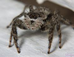 Family Salticidae – Jumping SpidersLive jumping spiders macro photographed in the wild at North American locations.Spider Index Weird Insects, Bugs And Insects, Funnel Web Spider, Spider Mites, Itsy Bitsy Spider, Jumping Spider, Praying Mantis, Mundo Animal, Creatures