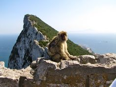 Rock of Gibraltar. The Rock of Gibraltar is home to some Barbary Macaques, the only wild apes in Europe. These little guys are something else! Rock Of Gibraltar, Places In California, Travel And Leisure, Monkeys, Wildlife Photography, The Rock, Wonders Of The World, Childhood Memories, Places Ive Been