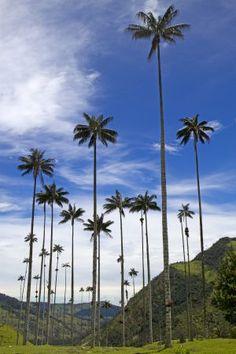 Palmas de cera en el valle de Cocora (Quindío), que pueden llegar a los 80 metros. Colombia Travel, Top Travel Destinations, South America, Landscape Design, Travel Inspiration, Beautiful Places, Places To Visit, Around The Worlds, Armenia