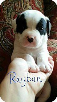 Manhattan, NY - American Bulldog. Meet Rayban, a puppy for adoption. http://www.adoptapet.com/pet/12728768-manhattan-new-york-american-bulldog