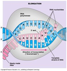 Image result for RNA is transcribed in the
