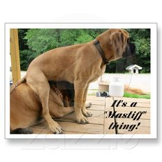 "It's A ""Mastiff"" thing! (English Mastiff) postcard from Zazzle.com"