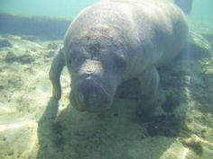 Snorkel with the manatees at Crystal River