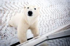 Face to face with wild polar bears in the Canadian tundra. Gorgeous video of the polar bears by Matador. Canadian Wildlife, Komodo Dragon, Quokka, Work Horses, Mountain Lion, G Adventures, Canada, Killer Whales, Snow Leopard