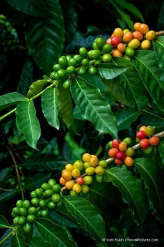Kona Coffee Beans. I swear Kona has the best coffee I've tasted. Greenwell Farms in Kona. Hawaii the Big Island. Been there! #CoffeeBeans
