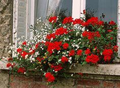 Le géranium aussi se cultive en fonction du calendrier lunaire. Voici les conseils de Rustica. Unique Flowers, Amazing Flowers, Raised Flower Beds, Build Something, Best Rock, Landscaping With Rocks, Bed Plans, Plantation, Plants