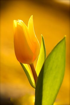 ~~Yellow mellow | yellow tulip | by Päivi Vikström~~