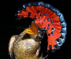 Royal Flycatcher. I have seen hats like this...we do tend to model nature alot. He'd be fun a parties : )
