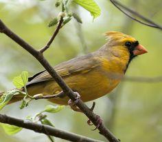 _DSC5751 yellow northern cardinal | Flickr