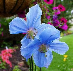 My very very favorite blue flower: Himalayan Poppy