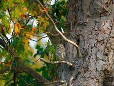 Un mochuelo posado en la rama de un gran árbol