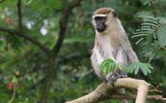 Vervet Green Monkey a native of St Kitts and Nevis All About Animals, Animals Of The World, Animals Beginning With V, Monkey Habitat, New World Monkey, Types Of Monkeys, Dry Nose, Pet Monkey, Exotic Beaches