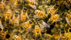 Swarm of killer bees sting woman 1,000 times - IRISH INDEPENDENT #Killer_Bees, #US