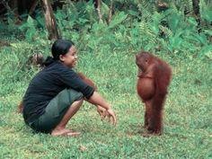 A disgruntled orangutan