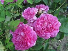 Provins à Fleurs Gigantesques (ou Rosa gallica Maxima Gigantea) offre ses grandes fleurs doubles, d'un rose moyen tirant sur le mauve, immortalisées par Redouté.  Floraison unique, moyennement parfumée. Rosier peu documenté. Centifolia. Jardin fleuriste du Roi, 1813.