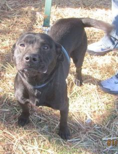 CODE RED!!~~~URGENT!!~~~~THIS IS A KILL SHELTER IN TN PLEASE SHARE TO SAVE THIS SWEET BOY!!~~~Scrappy is an adoptable Pit Bull Terrier searching for a forever family near Tullahoma, TN. Use Petfinder to find adoptable pets in your area.