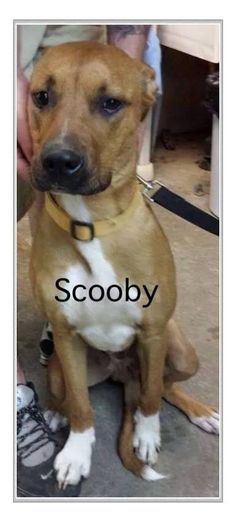 ADOPTED!!......July 2014, Scooby came in the shelter at 8 months of age.  He's a great dog!!!..and handsome, too!!!